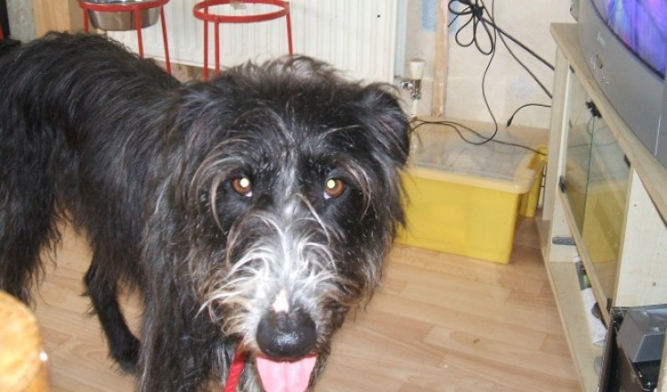 charlotte 5 year old bearded collie cross whippet dog
