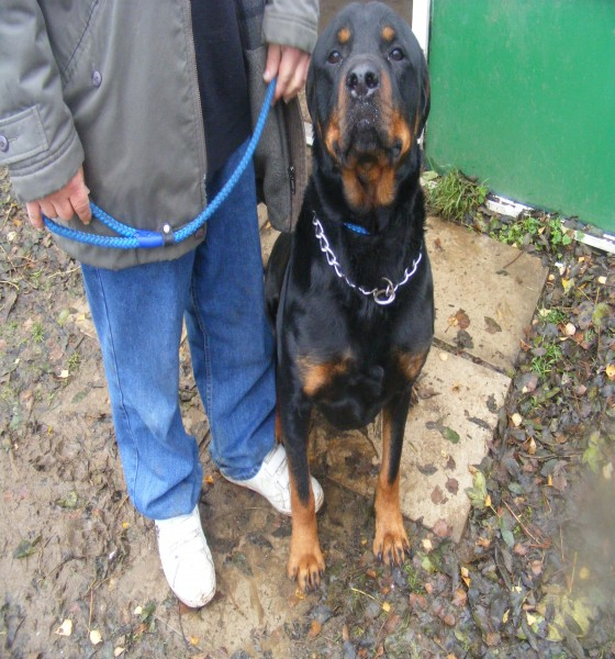 Posts by Zepthedep Rottweiler Rescue Derbyshire | Dogs for