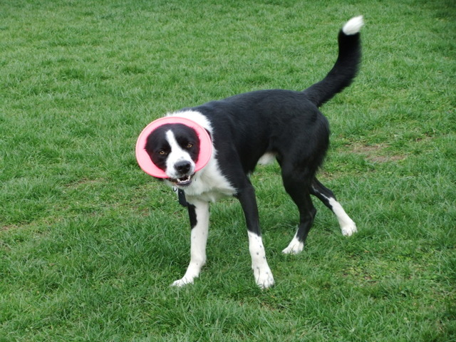 Scooby – 2 year old male Border Collie Cross dog for adoption