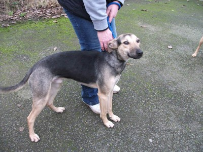 Mork – 8 month old male Whippet Cross dog for adoption