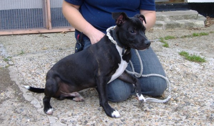 Staffordshire Bull Terrier 5 Months Woody – 5 month old ...