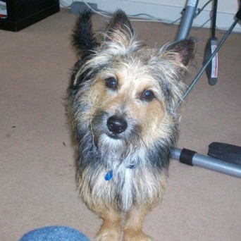 Spike 2 1 2 Year Old Male Yorkshire Terrier Cross Jack Russell