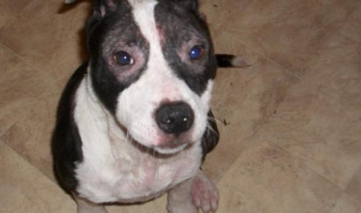 Staffordshire Bull Terrier 5 Months Bonzo – 5 month old ...