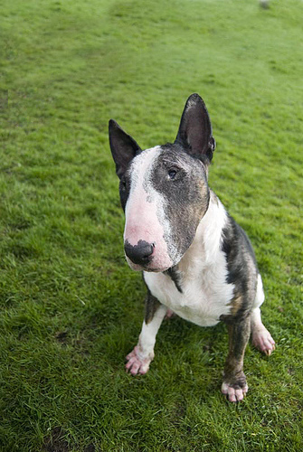 Jack 8 Year Old Male English Bull Terrier Dog For Adoption