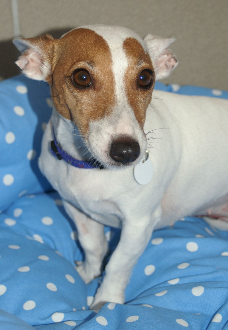 Angel – 6 year old female Jack Russell Terrier dog for adoption