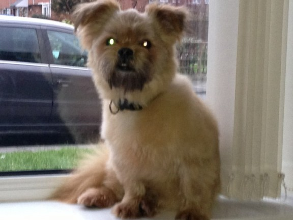 Chico 3 Year Old Male Pomeranian Cross Shih Tzu Dog For Adoption