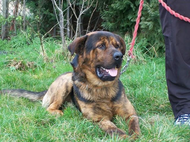 Mick – 2 year old male German Shepherd cross Rottweiler ...
