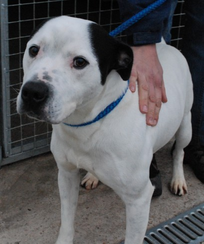 Bailey 4 Year Old Male American Bulldog Cross Staffordshire Bull Terrier Dog For Adoption