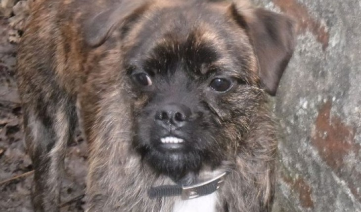 Milo 12 Month Old Male Pug Cross Jack Russell Terrier Dog For Adoption