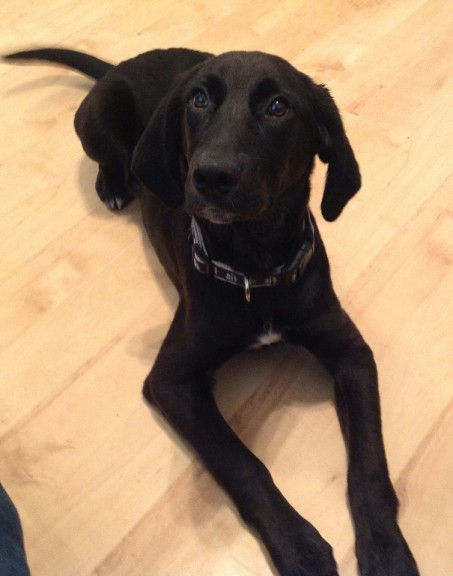 Rufus 5 Month Old Male Labrador Cross Pointer Dog For Adoption