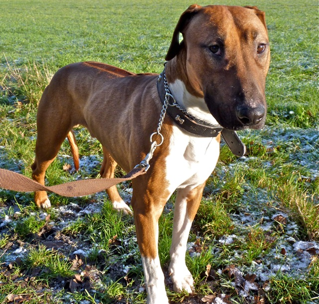 harvey 18 month old male english bull terrier cross