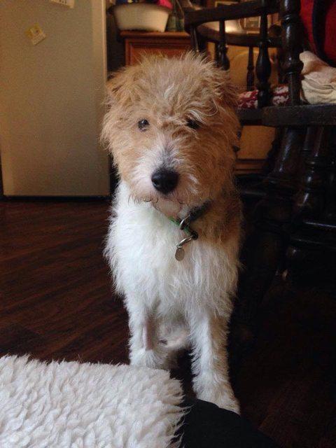 Nina 2 Year Old Female Fox Terrier Cross Dog For Adoption