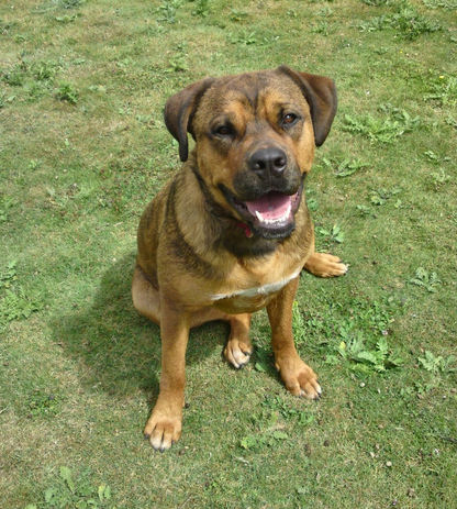 Posts By Cane Corso Uk And Molosser Rescue Dogs For Adoption