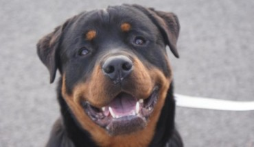 Posts By Fife Rottweiler Rescue Dogs For Adoption Rescue