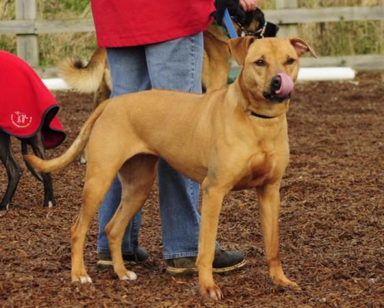 Poppy – 4 year old female Rhodesian Ridgeback Cross dog for adoption