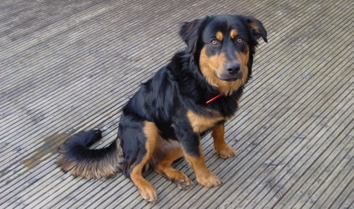Can Rottweilers Be Agility Dogs