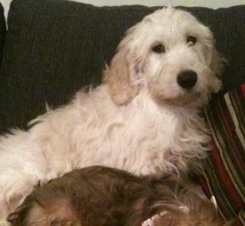 Clover – 14 week old female Golden Retriever cross ...