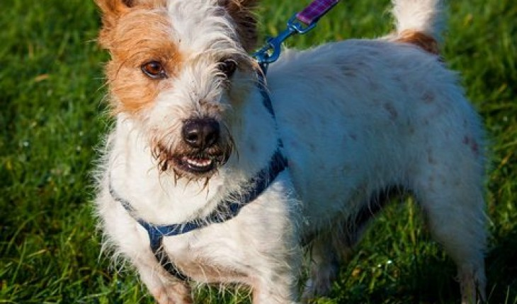Basil – 6 year old male Basset Hound cross Jack Russell Terrier dog ...