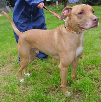 ... Rhodesian Ridgeback cross Staffordshire Bull Terrier dog for adoption