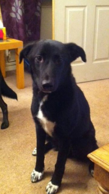 Jake 18 Month Old Male Collie Cross Lurcher Dog For Adoption