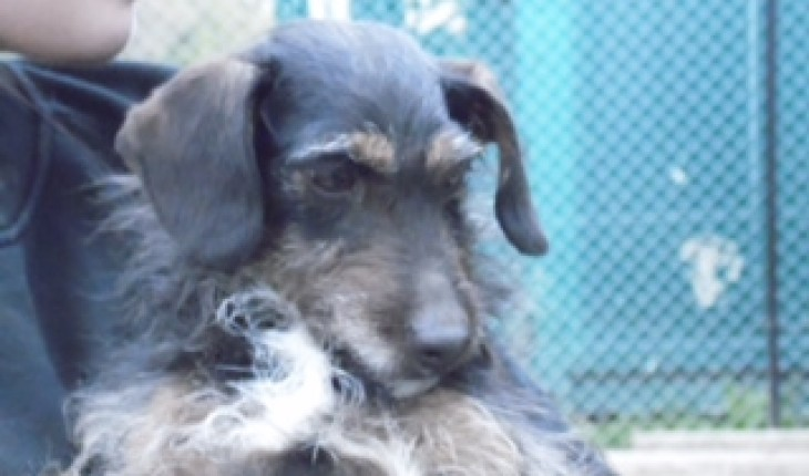 Tinks – 3 year old female Dachshund cross Poodle dog for adoption