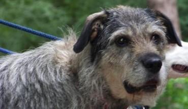Irish Wolfhound Cross ...