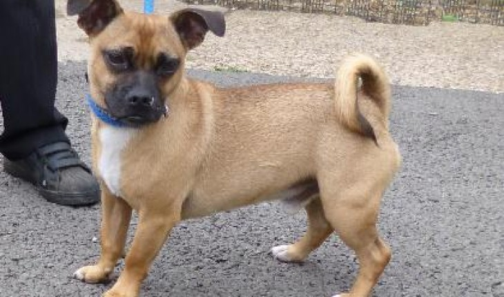 Reggie 2 3 Year Old Male Jack Russell Terrier Cross Pug Dog For