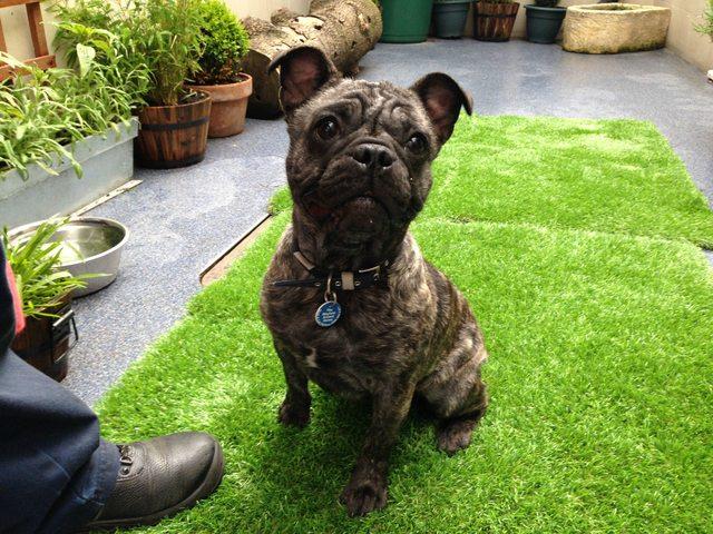 Higgins 1 Year Old Male French Bulldog Cross Pug Dog For