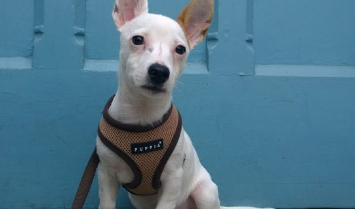 Milo – 4 month old male Jack Russell Terrier cross Chihuahua dog for ...