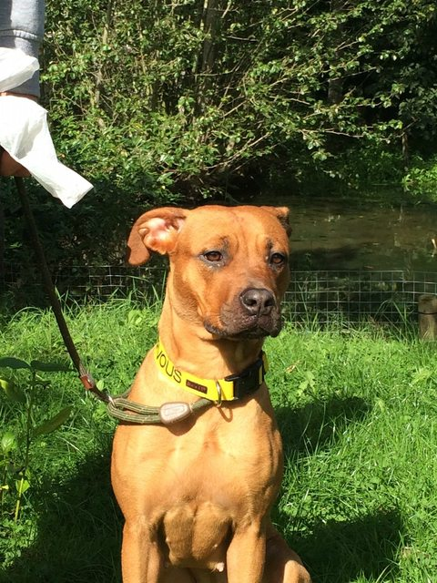 Fudge – 1 year old female Rhodesian Ridgeback Cross dog for adoption