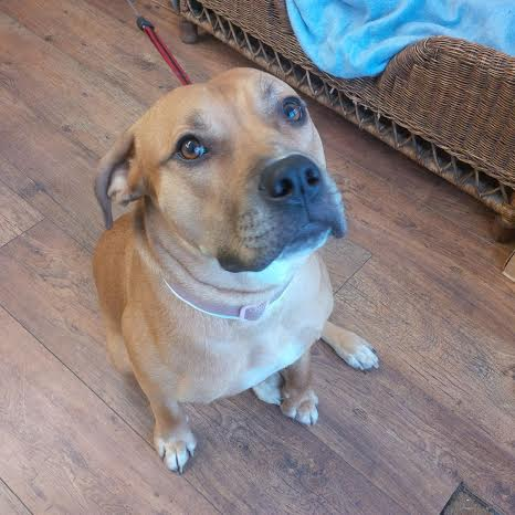 ... – 13 month old female Rhodesian Ridgeback Cross dog for adoption