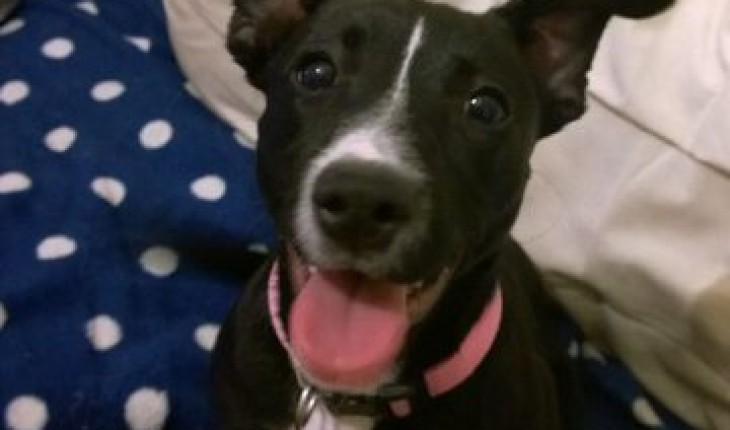 Staffordshire Bull Terrier 5 Months Bunty – 5 month old ...