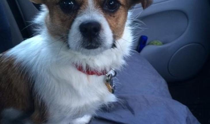 Sadie – 9 month old female Shih Tzu Cross dog for adoption