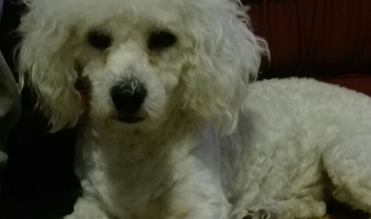 Ted – 7 month old male Bichon Frise dog for adoption