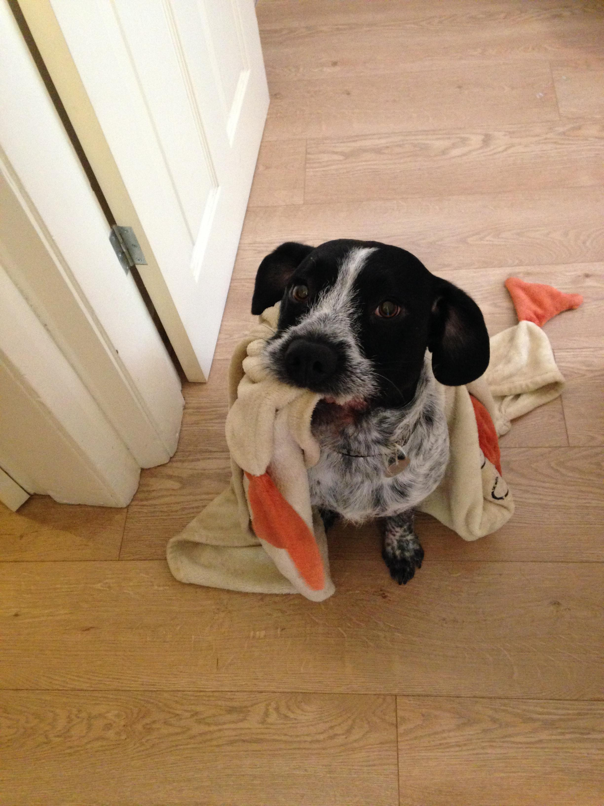 Playful Dogs: 3 Year Old Male English Springer Spaniel Cross Jack