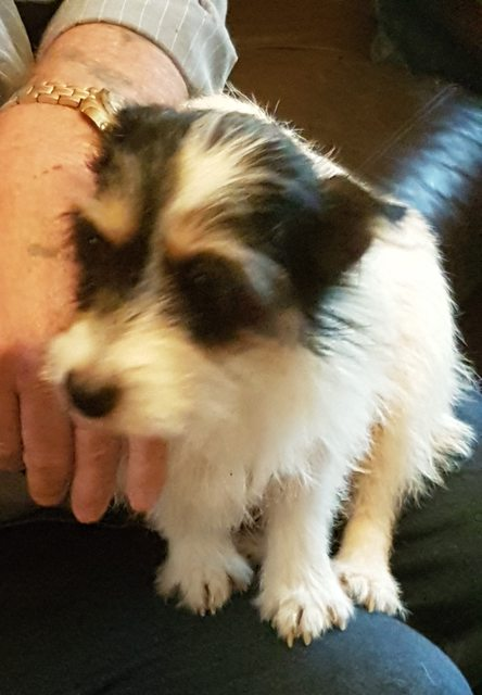 Poppy 4 Year Old Female West Highland White Terrier