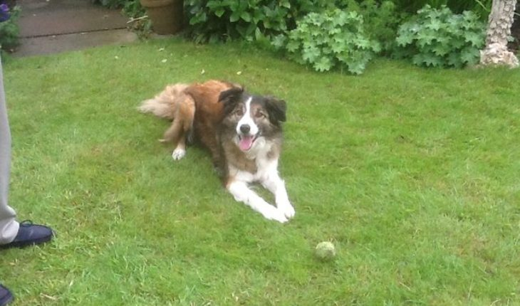 Border collie essex