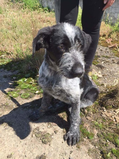 sparkle � 5 month old female german wirehaired pointer