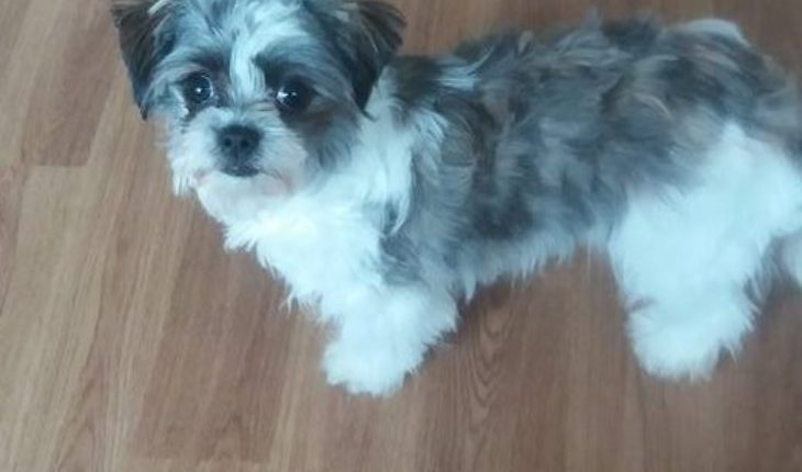 Honey – 7 month old female Chihuahua cross Shih Tzu dog for adoption