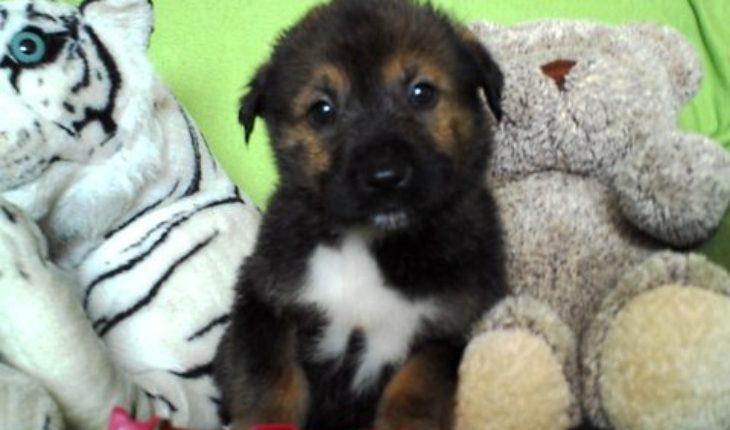 Akita Dog Rescue Uk