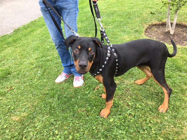 Chase – 6 month old male Rottweiler cross Dobermann