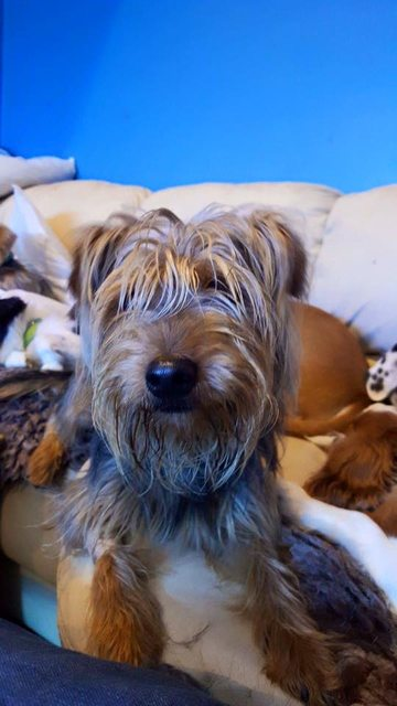 Barclay – 1 year old male Yorkshire Terrier dog for adoption