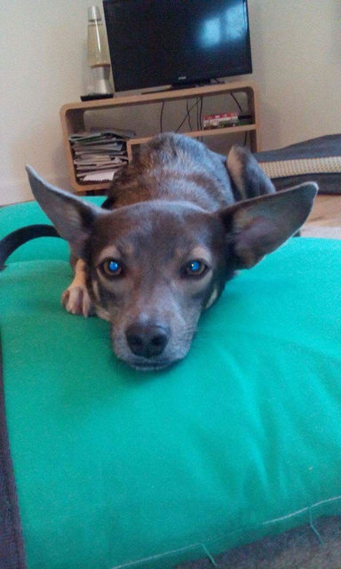 Blue – 2 year old male Chihuahua Cross