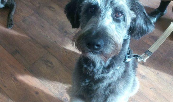 Reggie – 15 month old male Border Collie cross Standard Poodle dog ...