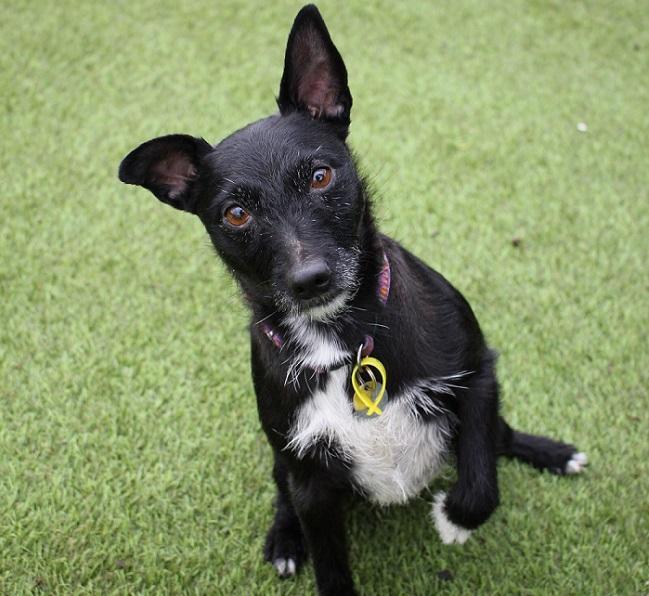 Jess 8 Year Old Female Patterdale Terrier Cross Jack