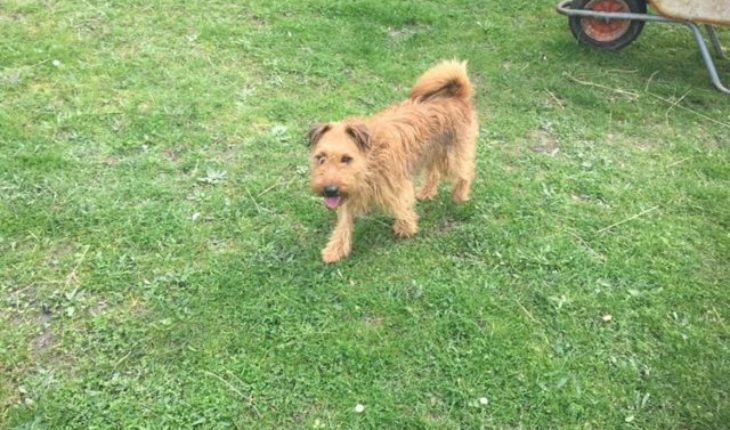 Jonsie is a Lakeland Terrier cross neutered male dog. Jonsie came in the rescue as sadly his owners were too poorly to keep him.