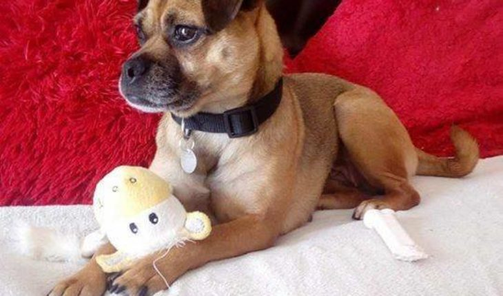 Fudge 5 6 Year Old Female Pug Cross Jack Russell Terrier Dog For