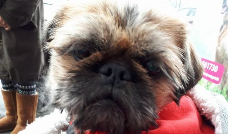Betty Boo 3 Year Old Female Pug Cross Shih Tzu Dog For Adoption