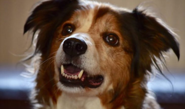 Lassie is a 11 year old neutered female Collie cross. Lassie came in to the rescue as her owner became so unwell that he was unable to care for her anymore.