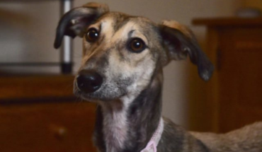 Dobby – 8 month old female Saluki cross Whippet · All Animal Rescue Southampton |